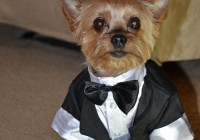 yorkie as wedding guest